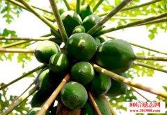 <b>广西两个90后大学生返乡种植木瓜的创业故事</b>