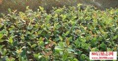 <b>草根创业者回乡栽培油茶致富的创业故事</b>
