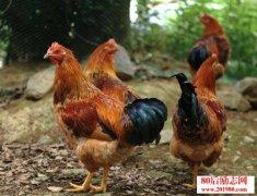 农村养鸡的创业成功
