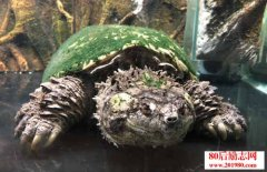 鳄龟怎么养|鳄龟的