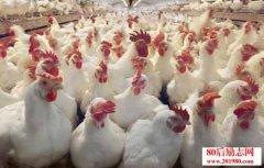 <b>肉鸡养殖与防病——如何养好第三、四批肉鸡</b>