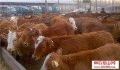 <b>高档肉牛养殖技术|高档肉牛育肥技术</b>