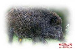 野猪人工驯养方法