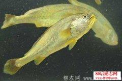 养殖大黄鱼和野生大黄鱼