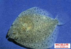 养鱼和防病:多宝鱼