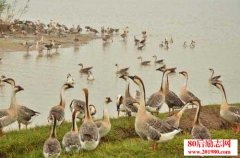 大雁人工养殖及防
