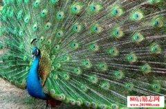 蓝孔雀养殖技术|蓝孔雀养