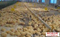 养鸡经验:20种养鸡