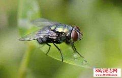 苍蝇养殖和苍蝇资源