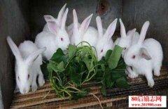 兔子怎么养?介绍一