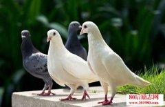 彩色光对鸽子的影响