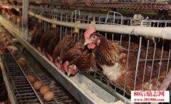 养鸡经验——蛋鸡冬