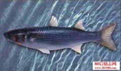 鲻鱼养殖过程和养殖