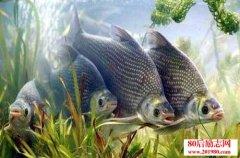 鳊鱼繁殖和?养殖技