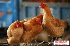 家禽养殖经验|家禽
