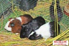 豚鼠养殖技术|豚鼠养殖前