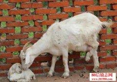 养殖经验:母羊接产及母