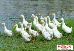 养鸭技术——蛋鸭四季放