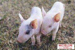 国外养猪技术及科学养猪