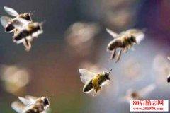 蜜蜂养殖:怎样收捕