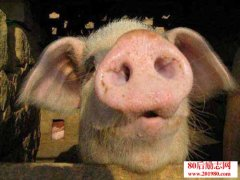 夏季养猪的防暑降温措施