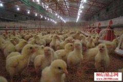 养殖经验:肉用鸡育肥与