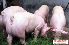 怎样养猪?能人养猪的四
