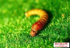 黄粉虫养殖技术|黄