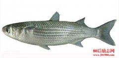 鲻鱼养殖技术?|鲻鱼