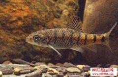 石斑鱼养殖管理及疾