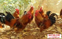 土鸡养殖技术及日常