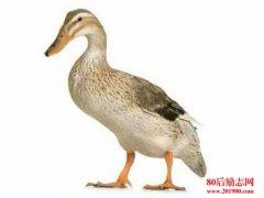 怎样识别高产蛋鸭