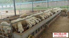 冬季暖棚养羊技术