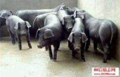 黑猪养殖——松辽