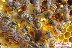 中蜂养殖技术及注意