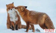 如何做好狐狸的配种