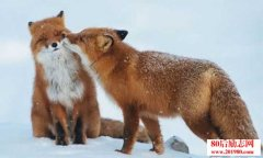 <b>如何做好狐狸的配种工作,狐狸配种什么时间合适</b>