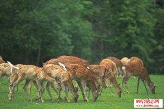 梅花鹿的组群及养殖操作