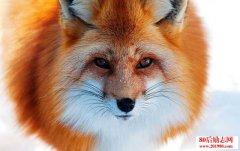 狐狸繁殖期及繁殖特性