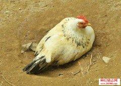 让母鸡醒抱继续产蛋的简