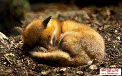 狐狸妊娠判定及产仔护理